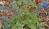 Corydalis turtschaninovii